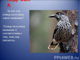 КЕДРОВКА За что эта птица получила такое название? Птица получила название в соо