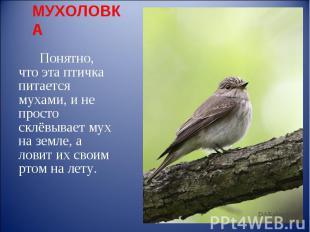 МУХОЛОВКА Понятно, что эта птичка питается мухами, и не просто склёвывает мух на
