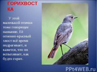 ГОРИХВОСТКА У этой маленькой птички тоже говорящее название. Её огненно-красный