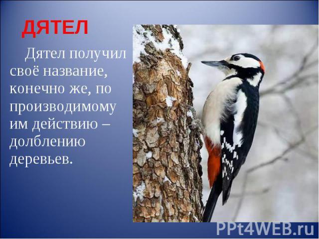 ДЯТЕЛ Дятел получил своё название, конечно же, по производимому им действию – долблению деревьев.