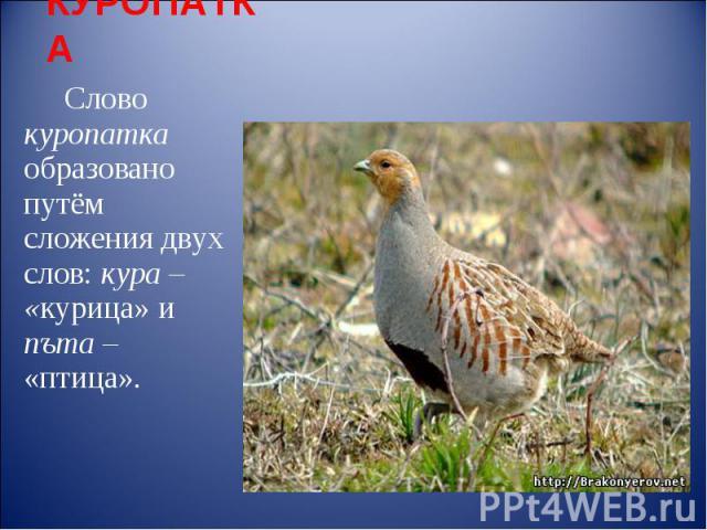 КУРОПАТКА Слово куропатка образовано путём сложения двух слов: кура – «курица» и пъта – «птица».