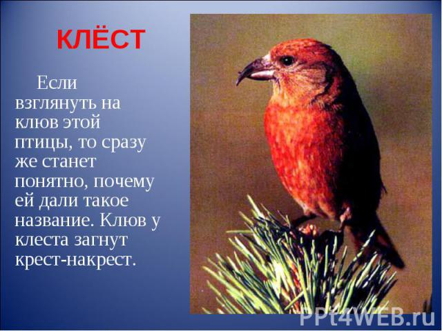 КЛЁСТ Если взглянуть на клюв этой птицы, то сразу же станет понятно, почему ей дали такое название. Клюв у клеста загнут крест-накрест.