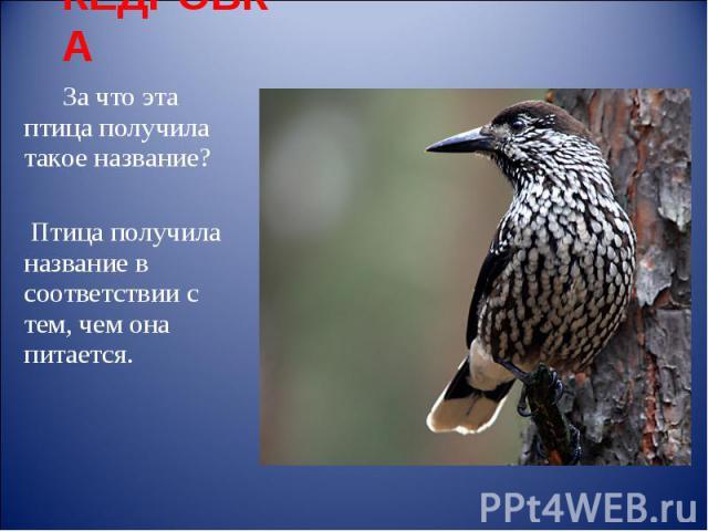 КЕДРОВКА За что эта птица получила такое название? Птица получила название в соответствии с тем, чем она питается.
