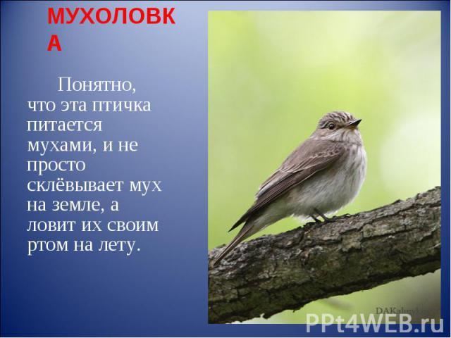 МУХОЛОВКА Понятно, что эта птичка питается мухами, и не просто склёвывает мух на земле, а ловит их своим ртом на лету.