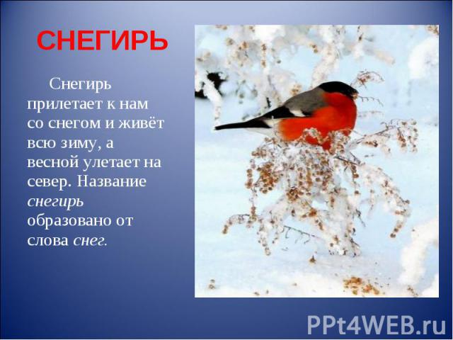 СНЕГИРЬ Снегирь прилетает к нам со снегом и живёт всю зиму, а весной улетает на север. Название снегирь образовано от слова снег.