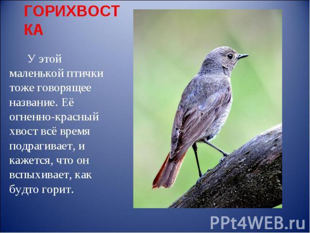 ГОРИХВОСТКА У этой маленькой птички тоже говорящее название. Её огненно-красный хвост всё время подрагивает, и кажется, что он вспыхивает, как будто горит.