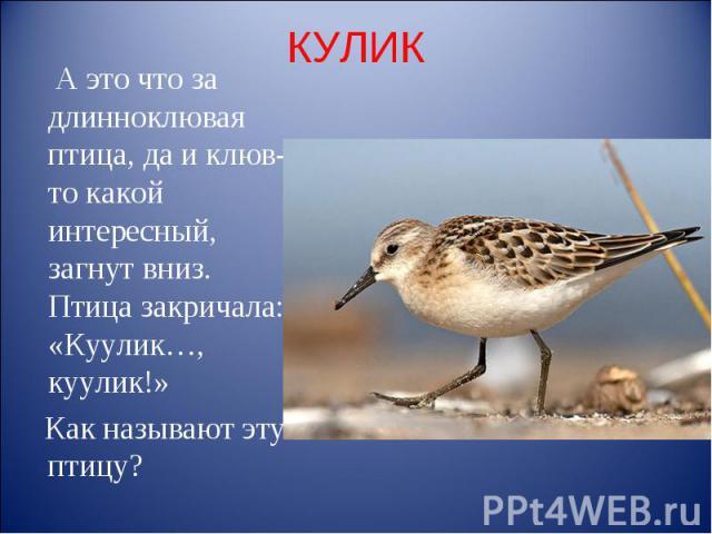 КУЛИК А это что за длинноклювая птица, да и клюв-то какой интересный, загнут вниз. Птица закричала: «Куулик…, куулик!» Как называют эту птицу?