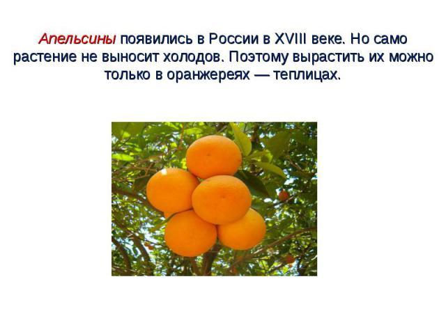 Апельсины появились в России в XVIII веке. Но само растение не выносит холодов. Поэтому вырастить их можно только в оранжереях — теплицах.