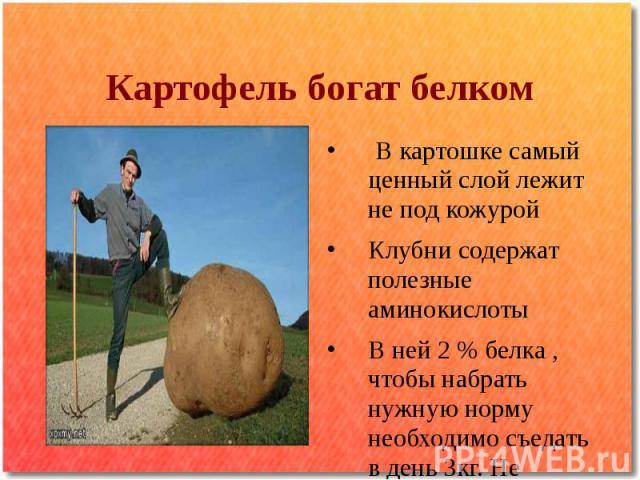Картофель богат белком В картошке самый ценный слой лежит не под кожурой Клубни содержат полезные аминокислоты В ней 2 % белка , чтобы набрать нужную норму необходимо съедать в день 3кг. Не чищенной , а в «мундире»