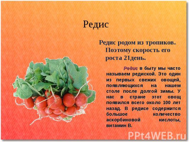 Редис Редис родом из тропиков. Поэтому скорость его роста 21день. Редис в быту мы часто называем редиской. Это один из первых свежих овощей, появляющихся на нашем столе после долгой зимы. У нас в стране этот овощ появился всего около 100 лет назад. …