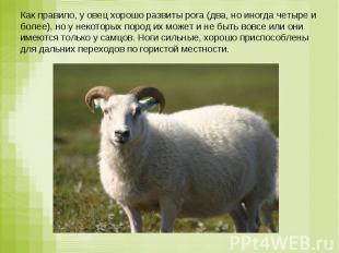 Как правило, у овец хорошо развиты рога (два, но иногда четыре и более), но у не