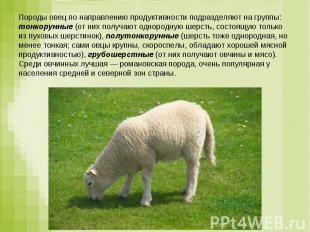 Породы овец по направлению продуктивности подразделяют на группы: тонкорунные (о