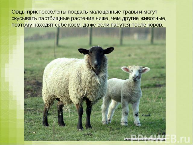 Овцы приспособлены поедать малоценные травы и могут скусывать пастбищные растения ниже, чем другие животные, поэтому находят себе корм, даже если пасутся после коров.