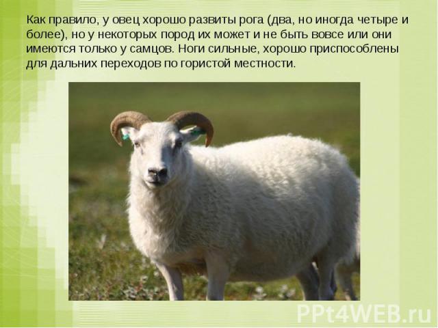 Как правило, у овец хорошо развиты рога (два, но иногда четыре и более), но у некоторых пород их может и не быть вовсе или они имеются только у самцов. Ноги сильные, хорошо приспособлены для дальних переходов по гористой местности.