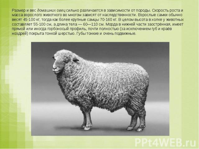 Размер и вес домашних овец сильно различается в зависимости от породы. Скорость роста и масса взрослого животного во многом зависят от наследственности. Взрослые самки обычно весят 45-100кг, тогда как более крупные самцы 70-160кг. В целом высота в…