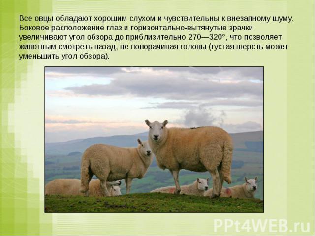 Все овцы обладают хорошим слухом и чувствительны к внезапному шуму. Боковое расположение глаз и горизонтально-вытянутые зрачки увеличивают угол обзора до приблизительно 270—320°, что позволяет животным смотреть назад, не поворачивая головы (густая ш…