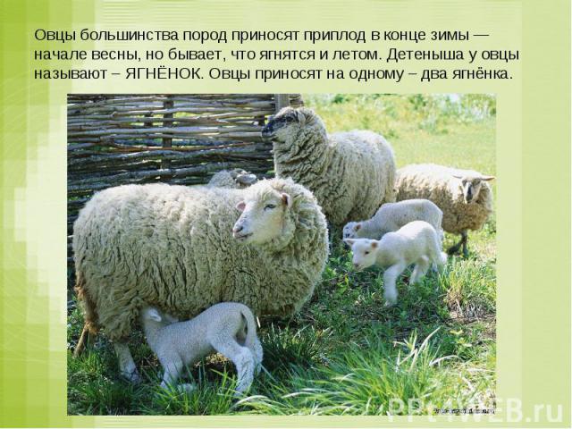 Овцы большинства пород приносят приплод в конце зимы — начале весны, но бывает, что ягнятся и летом. Детеныша у овцы называют – ЯГНЁНОК. Овцы приносят на одному – два ягнёнка.