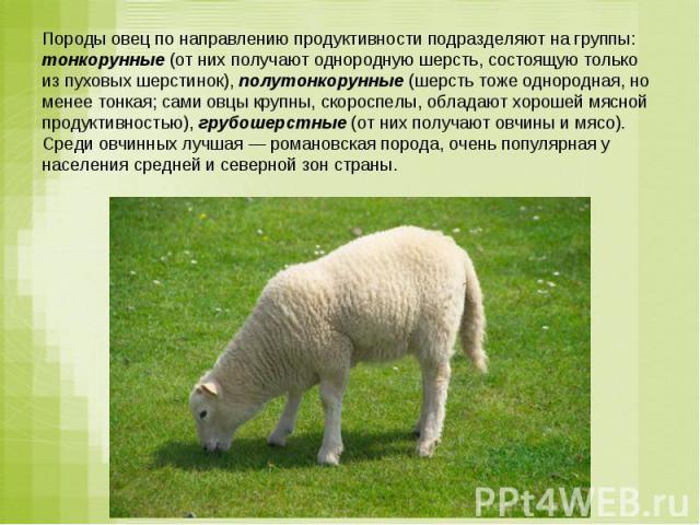 Породы овец по направлению продуктивности подразделяют на группы: тонкорунные (от них получают однородную шерсть, состоящую только из пуховых шерстинок), полутонкорунные (шерсть тоже однородная, но менее тонкая; сами овцы крупны, скороспелы, обладаю…