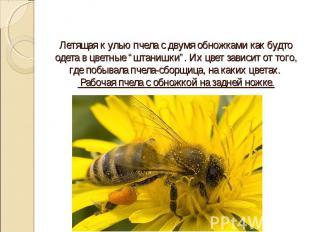"""Летящая к улью пчела с двумя обножками как будто одета в цветные """"штанишки"""". Их"""