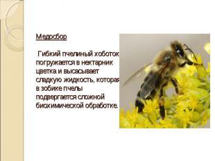 Медосбор Гибкий пчелиный хоботок погружается в нектарник цветка и высасывает сла