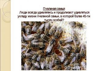 Пчелиная семья Люди всегда удивлялись и продолжают удивляться укладу жизни пчели