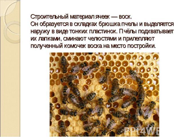 Строительный материал ячеек — воск. Он образуется в складках брюшка пчелы и выделяется наружу в виде тонких пластинок. Пчёлы подхватывает их лапками, сминают челюстями и прилепляют полученный комочек воска на место постройки.
