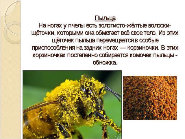 Пыльца На ногах у пчелы есть золотисто-жёлтые волоски-щёточки, которыми она обметает всё свое тело. Из этих щёточек пыльца перемещается в особые приспособления на задних ногах — корзиночки. В этих корзиночках постепенно собирается комочек пыльцы - о…