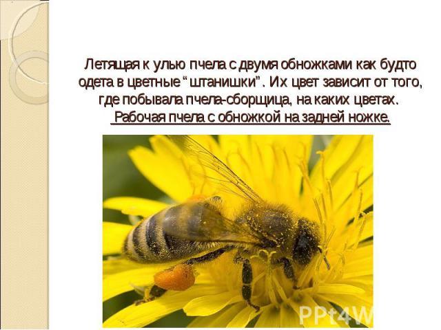 """Летящая к улью пчела с двумя обножками как будто одета в цветные """"штанишки"""". Их цвет зависит от того, где побывала пчела-сборщица, на каких цветах. Рабочая пчела с обножкой на задней ножке."""