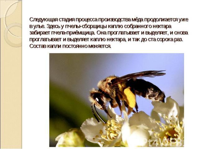 Следующая стадия процесса производства мёда продолжается уже в улье. Здесь у пчелы-сборщицы каплю собранного нектара забирает пчела-приёмщица. Она проглатывает и выделяет, и снова проглатывает и выделяет каплю нектара, и так до ста сорока раз. Соста…