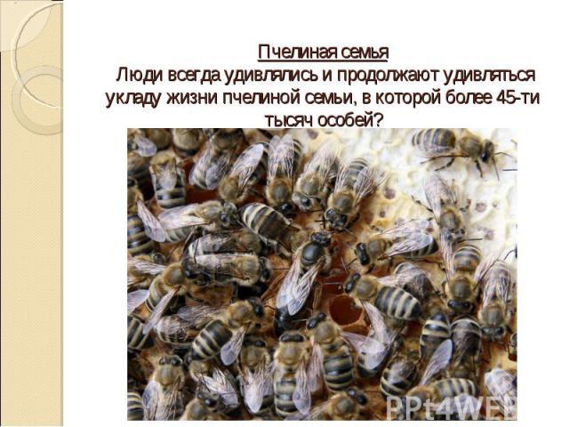 Пчелиная семья Люди всегда удивлялись и продолжают удивляться укладу жизни пчелиной семьи, в которой более 45-ти тысяч особей?