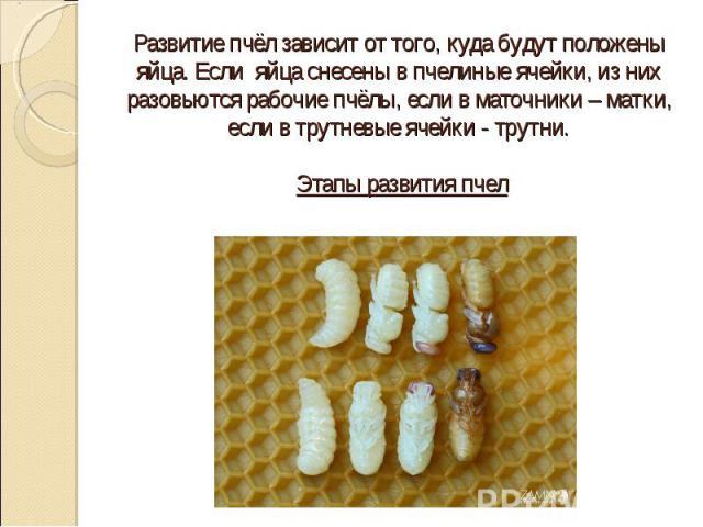 Развитие пчёл зависит от того, куда будут положены яйца. Если яйца снесены в пчелиные ячейки, из них разовьются рабочие пчёлы, если в маточники – матки, если в трутневые ячейки - трутни. Этапы развития пчел