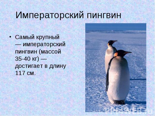 Императорский пингвин Самый крупный — императорский пингвин (массой 35-40 кг) — достигает в длину 117 см.