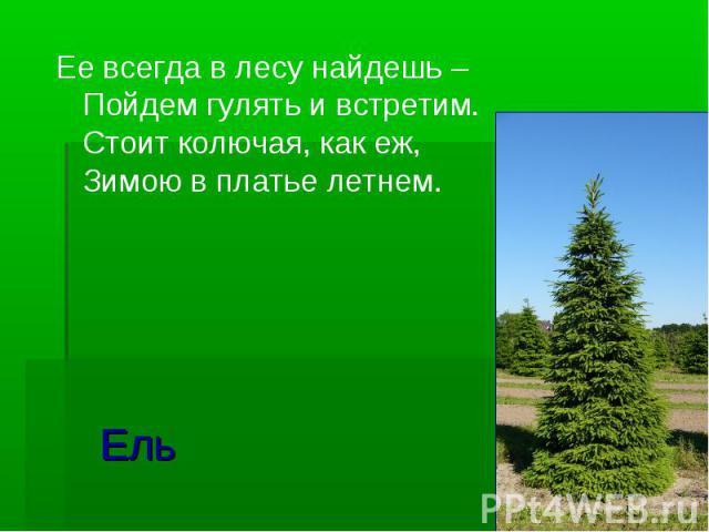 Ель Ее всегда в лесу найдешь – Пойдем гулять и встретим. Стоит колючая, как еж, Зимою в платье летнем.