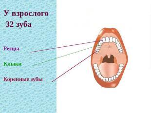 У взрослого 32 зуба Резцы Клыки Коренные зубы
