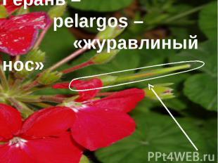 Герань – pelargos – «журавлиный нос»