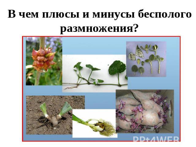 В чем плюсы и минусы бесполого размножения?