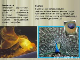 Вуалехвост Вуалехвост - широкотелая, укороченного формата рыбка с раздвоенным хв