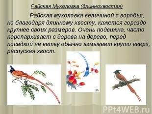 Райская Мухоловка (длиннохвостая) Райская мухоловка величиной с воробья, но благ