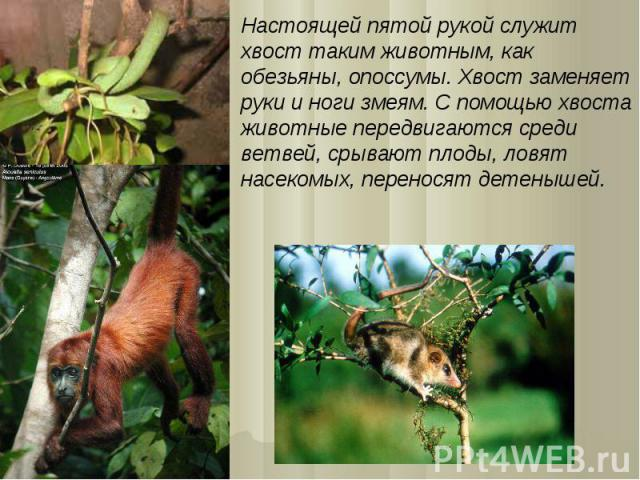 Настоящей пятой рукой служит хвост таким животным, как обезьяны, опоссумы. Хвост заменяет руки и ноги змеям. С помощью хвоста животные передвигаются среди ветвей, срывают плоды, ловят насекомых, переносят детенышей.