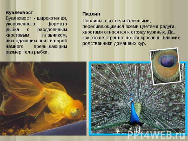 Вуалехвост Вуалехвост - широкотелая, укороченного формата рыбка с раздвоенным хвостовым плавником, ниспадающим вниз и порой намного превышающим размер тела рыбки. Павлин Павлины, с их великолепными, переливающимися всеми цветами радуги, хвостами отн…