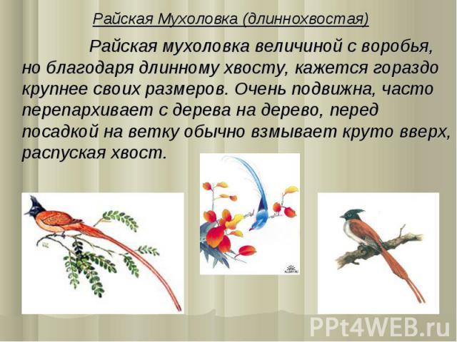 Райская Мухоловка (длиннохвостая) Райская мухоловка величиной с воробья, но благодаря длинному хвосту, кажется гораздо крупнее своих размеров. Очень подвижна, часто перепархивает с дерева на дерево, перед посадкой на ветку обычно взмывает круто ввер…