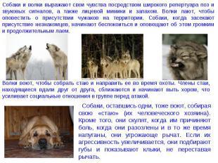 Собаки и волки выражают свои чувства посредством широкого репертуара поз и звуко