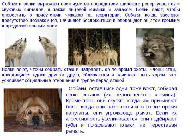 Собаки и волки выражают свои чувства посредством широкого репертуара поз и звуковых сигналов, а также лицевой мимики и запахом. Волки лают, чтобы оповестить о присутствии чужаков на территории. Собаки, когда засекают присутствие незнакомцев, начинаю…