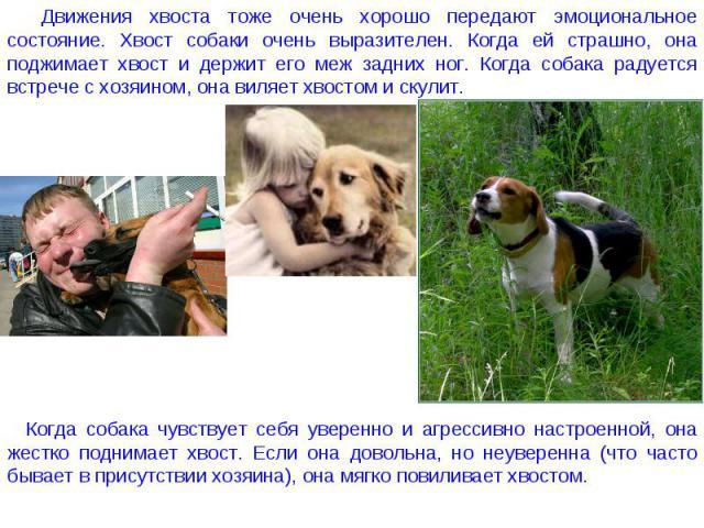 Движения хвоста тоже очень хорошо передают эмоциональное состояние. Хвост собаки очень выразителен. Когда ей страшно, она поджимает хвост и держит его меж задних ног. Когда собака радуется встрече с хозяином, она виляет хвостом и скулит. Когда собак…