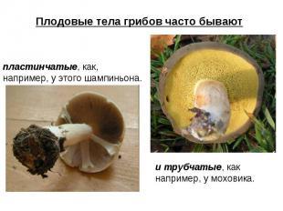 Плодовые тела грибов часто бывают пластинчатые, как, например, у этого шампиньон