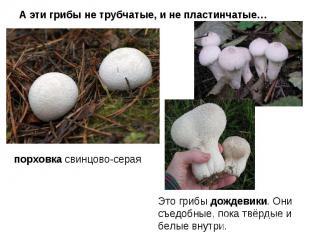 А эти грибы не трубчатые, и не пластинчатые… порховка свинцово-серая Это грибы д