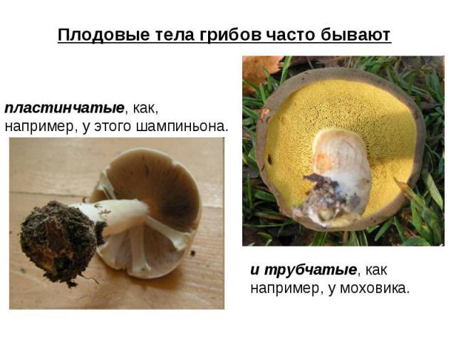 Плодовые тела грибов часто бывают пластинчатые, как, например, у этого шампиньона. и трубчатые, как например, у моховика.