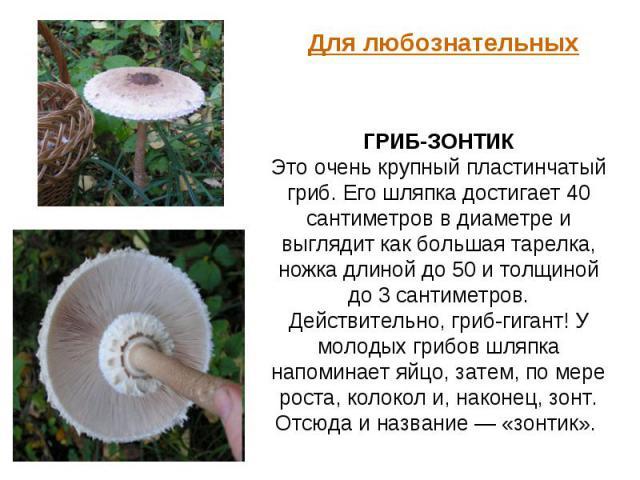 Для любознательных ГРИБ-ЗОНТИК Это очень крупный пластинчатый гриб. Его шляпка достигает 40 сантиметров в диаметре и выглядит как большая тарелка, ножка длиной до 50 и толщиной до 3 сантиметров. Действительно, гриб-гигант! У молодых грибов шляпка на…
