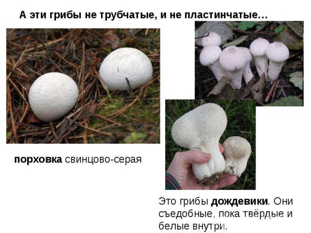 А эти грибы не трубчатые, и не пластинчатые… порховка свинцово-серая Это грибы дождевики. Они съедобные, пока твёрдые и белые внутри.