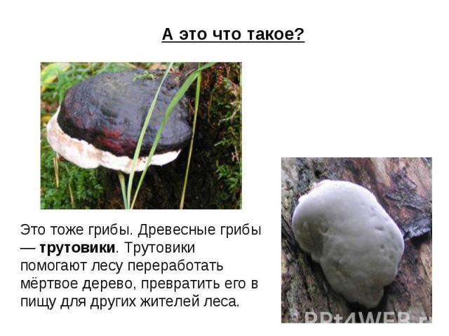 А это что такое? Это тоже грибы. Древесные грибы — трутовики. Трутовики помогают лесу переработать мёртвое дерево, превратить его в пищу для других жителей леса.